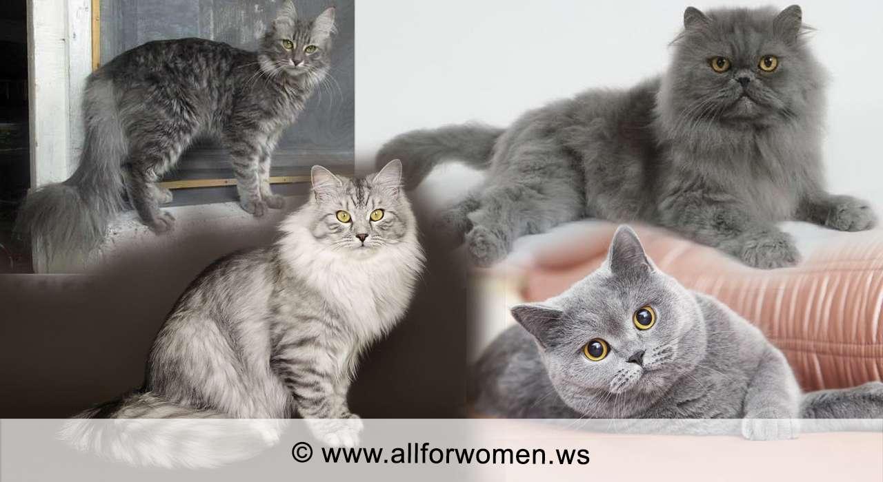 Кошка серого цвета и двухцветная - особенности - серые