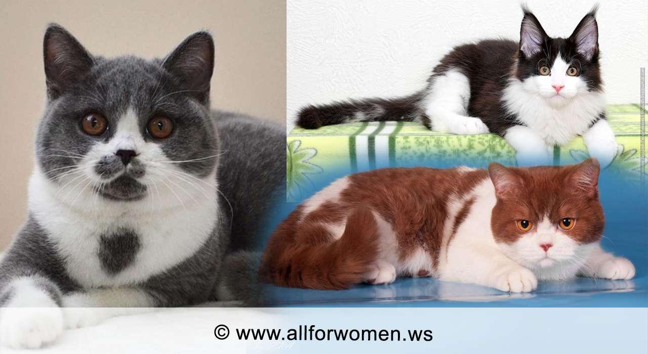 Кошка серого цвета и двухцветная - особенности - биколор