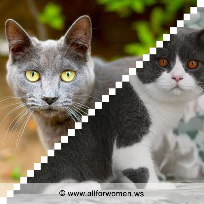 Кошка серого цвета и двухцветная - особенности